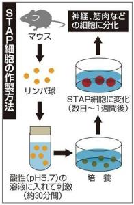 STAP細胞を作る流れ