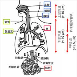 ホコリの大きさと呼吸器